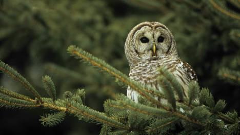 owl_voice